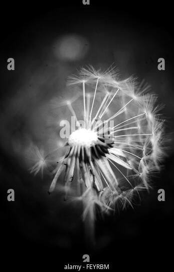 gardening, seeds, nature, still life, macro photography, black and white photography, dandelions, - Stock Image