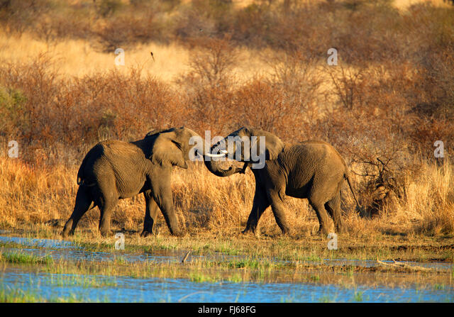 African elephant (Loxodonta africana), two young animals playing at a water place, South Africa, North West Province, - Stock-Bilder