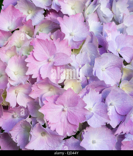 Pink and lavender hydrangea petals - Stock Image