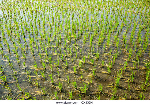 Rice field in India - Stock-Bilder