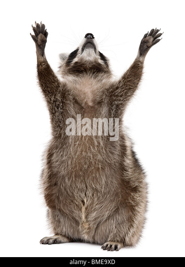 Raccoon, 2 years old, reaching up in front of white background - Stock Image