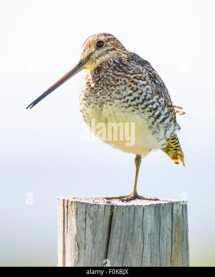 Birds, Wilson's Snipe, Idaho, USA - Stock Image