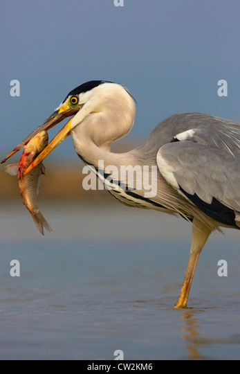 Grey Heron(Ardea cinerea)with a fish in its beak.Hungry - Stock Image
