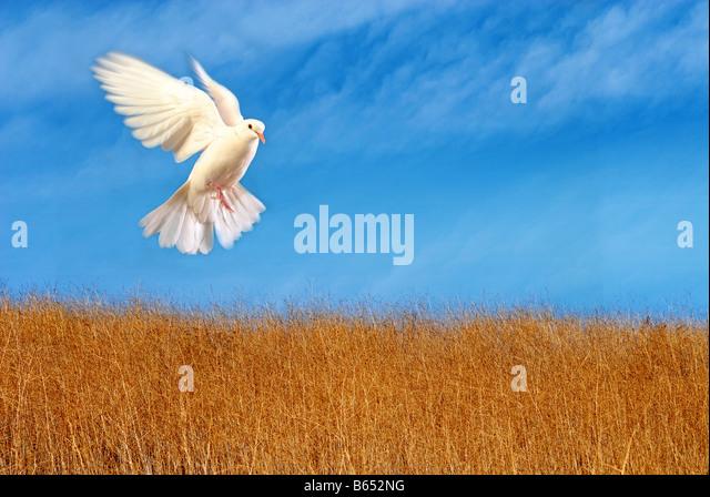 flying white dove - Stock Image