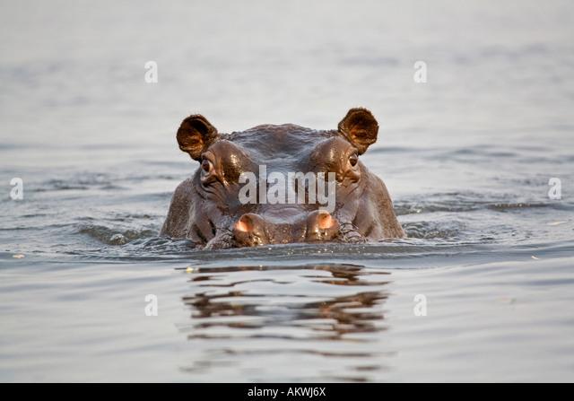 Hippopotamus in water, close-up - Stock-Bilder