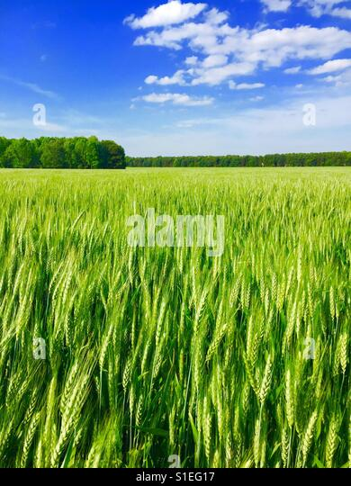 young-wheat-growing-on-a-farm-is-souther