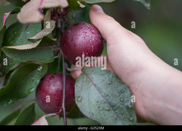 A man picks an Apple from a tree at an orchard on the Cider Trail south of Montreal, Sunday, July 26, 2015. photo - Stock Image
