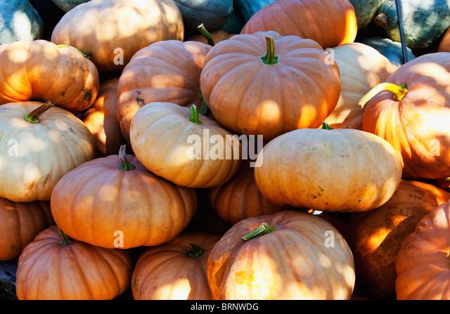Pile of pumpkins in rural pumpkin patch - Stock Image