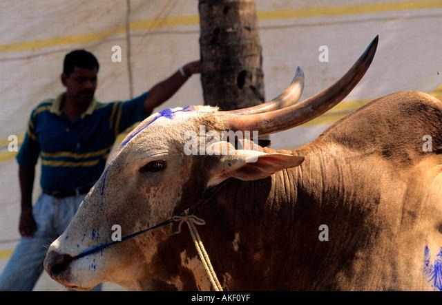 Indien, Goa, District Salcete, Stierkampf - Stock-Bilder