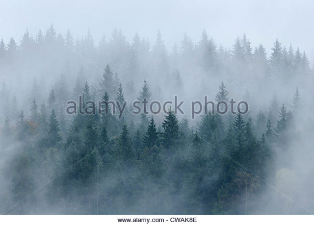 Pine forest in mist, Bystritsa village area, Carpathian Mountains, Ivano-Frankivsk region, Ukraine - Stock-Bilder
