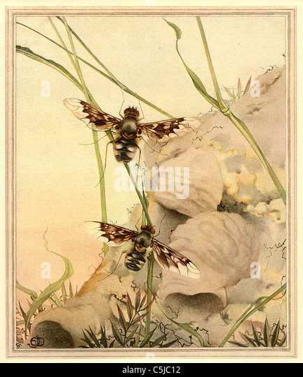 THE ANTHRAX FLY  - Antiquarian Insect Illustration - Stock Image