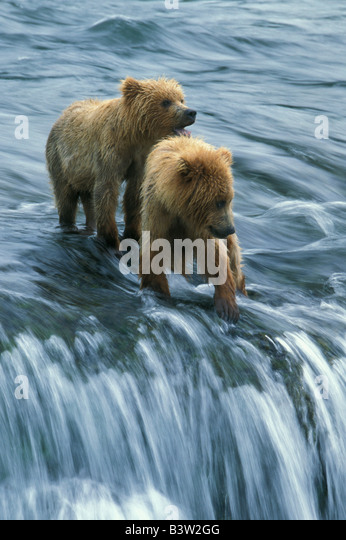 Brown Bears (Ursus arctos) Two cubs waiting for fishing mother, Brooks Falls, Katmai National Park, Alaska - Stock Image