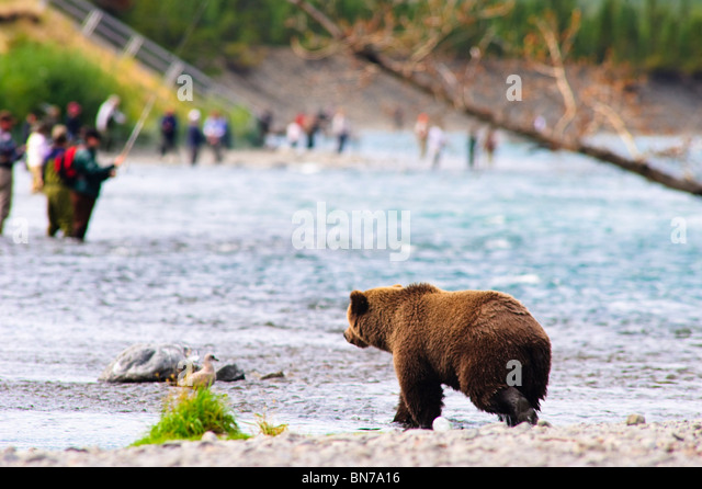 A Brown Bear fishing for salmon on the Russian River with fishermen in the background, Kenai Peninsula, Alaska - Stock Image