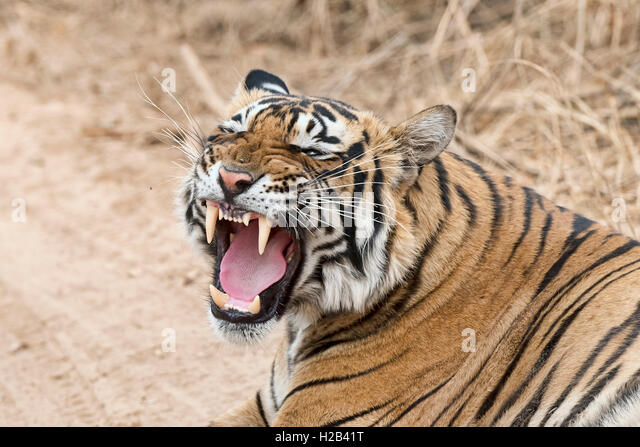 Königstiger (Panthera tigris tigris), auch Bengal-Tiger oder Indischer Tiger, Ranthambhore-Tigerreservat, Rajasthan, - Stock-Bilder