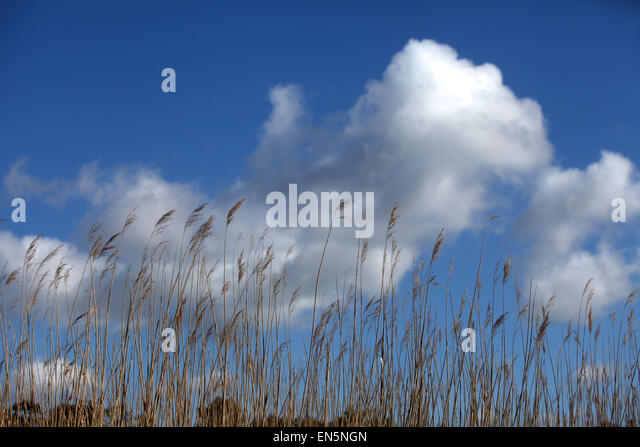 reeds against a cloudy blue sky - Stock Image
