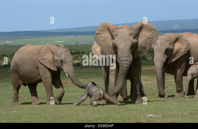 African Bush Elephants (Loxodonta africana), adults with young, 2 days, Addo Elephant National Park, Eastern Cape, - Stock Image