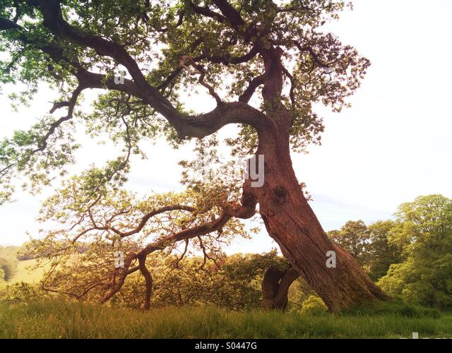 Old tree in the English countryside with sunlight in the summer. - Stock Image