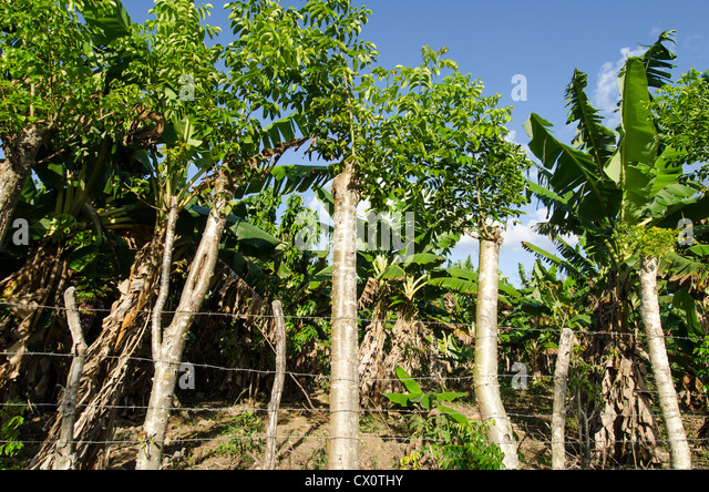 Banana plantation showing banana trees and barb wire fence made of old wood steaks, Boca de Yuma, Dominican Republic - Stock Image