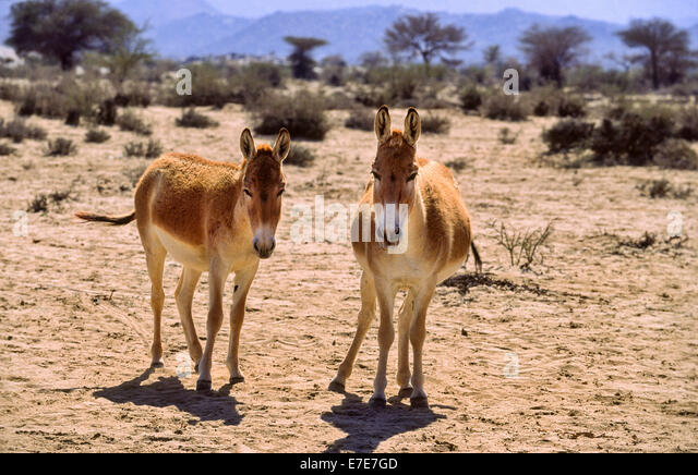 BROWN ARABIAN DONKEYS A RARE BREED IN THE DESERT OF SAUDI  ARABIA - Stock Image
