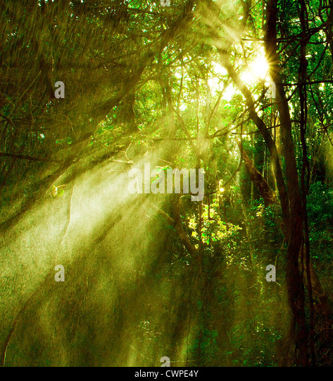 Image of misty rainforest and bright sun beams through trees branches, autumn dark woodland, shine morning sunray - Stock Image