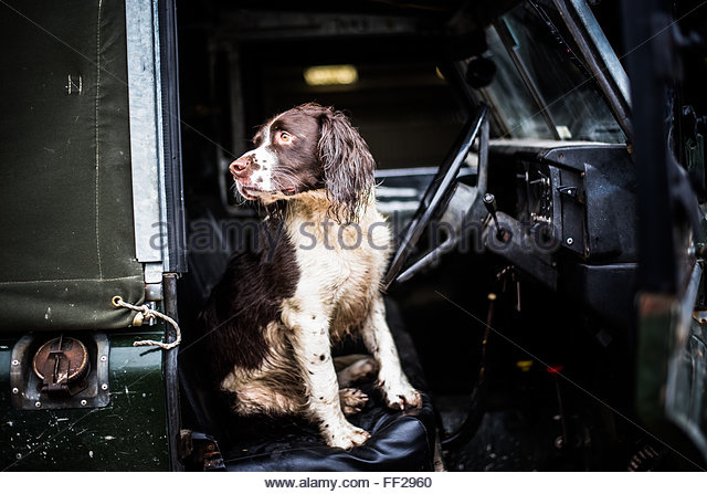 Springer spaniel in Land Rover, Wiltshire, England, United Kingdom, Europe - Stock Image