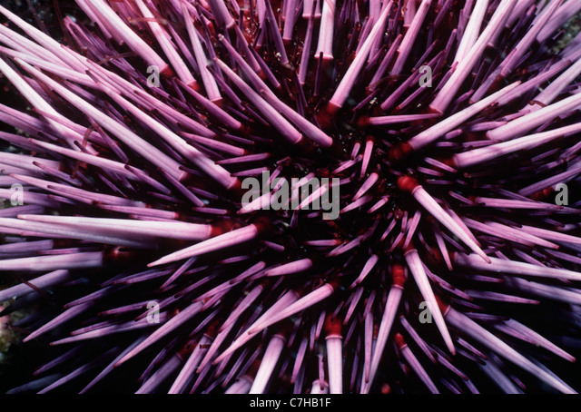Purple Sea Urchin (Strongylocentratus purpuratus) feeding on kelp. Channel Islands, California (USA) - Pacific Ocean - Stock Image
