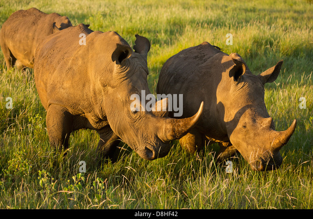 Two White Rhinoceros (Ceratotherium simum). Kenya - Stock Image