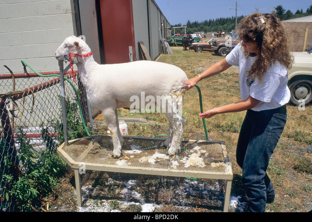 Teen grooming sheep, Junior Livestock competition, - Stock Image