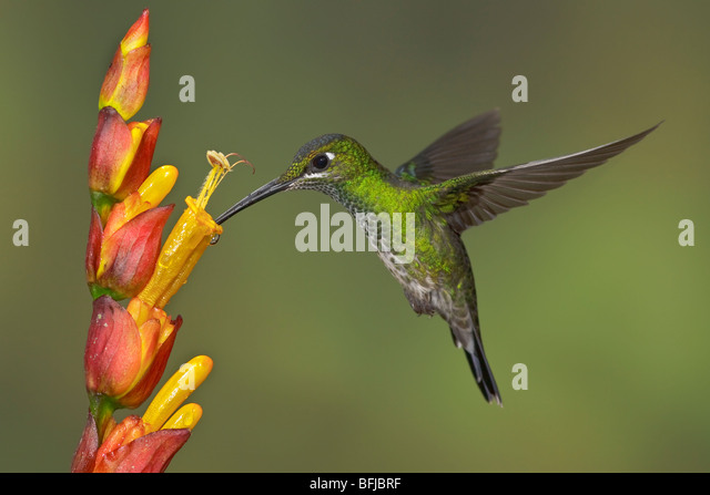Green-crowned Brilliant (Heliodoxa jacula) feeding at a flower while flying in the Milpe reserve in northwest Ecuador. - Stock Image