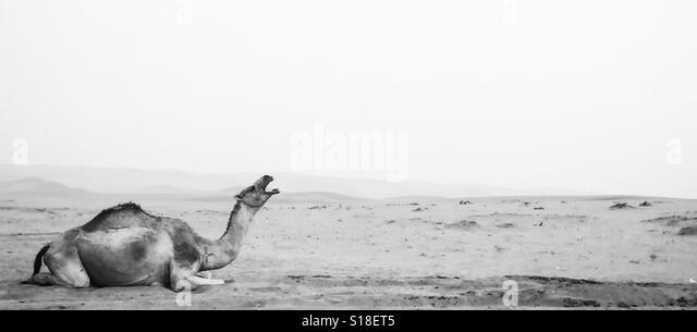 Resting Camel. Riyadh, Saudi Arabia. - Stock Image