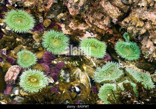 Sea Anemone - Salt Creek Recreation Area, Washington USA - Stock Image