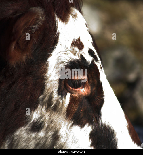 face of a cow - Stock Image