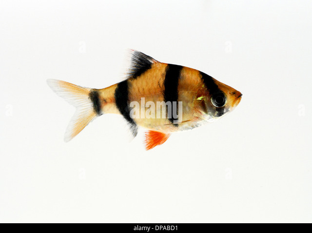 Tiger Barb - Stock Image