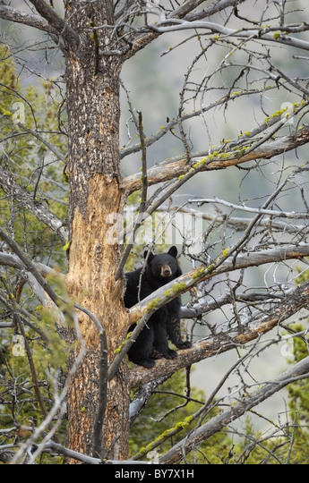 Black Bear high in a tree in Yellowstone. - Stock Image