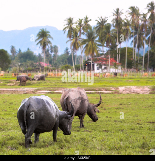 water buffalo animals horns talis in exotic nature grazing free on grass land roaming plam tress mountains building - Stock Image