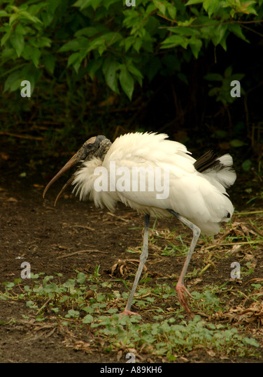 Florida bird immature wood stork - Stock Image