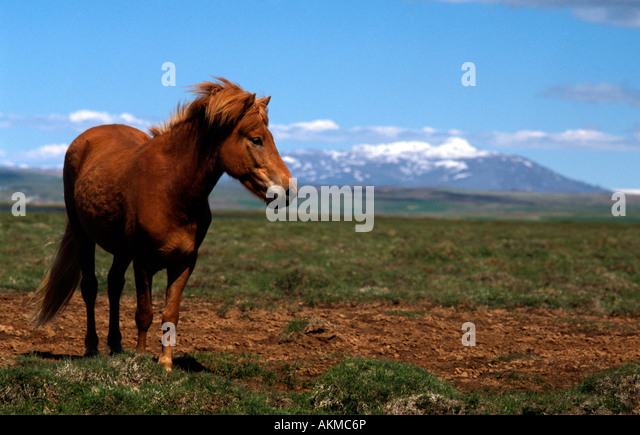 PICTURE CREDIT DOUG BLANE Horse in Icelend - Stock Image
