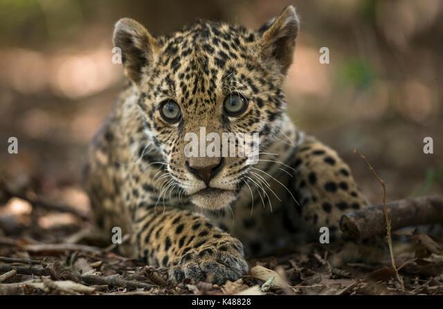 A Jaguar cub (Panthera onca) - Stock Image