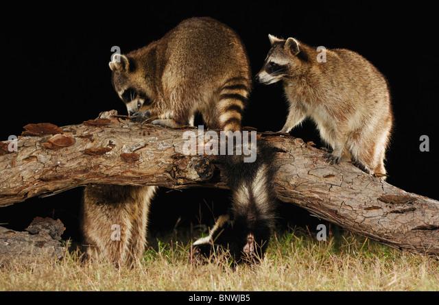 Northern Raccoon (Procyon lotor), adults at night among Striped Skunk (Mephitis mephitis), Coastal Bend, Texas Coast, - Stock Image
