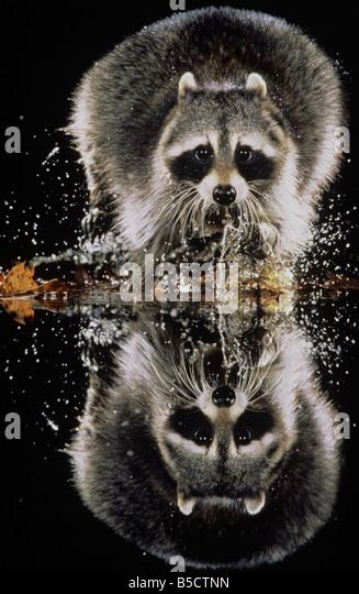 Northern Raccoon (Procyon lotor), adult running through water, Raleigh, Wake County, North Carolina, USA - Stock-Bilder