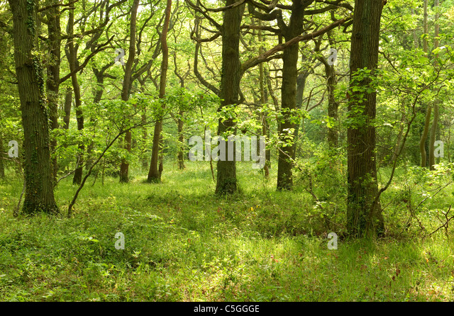 East Blean Woodlands Kent Wildlife Trust UK - Stock Image
