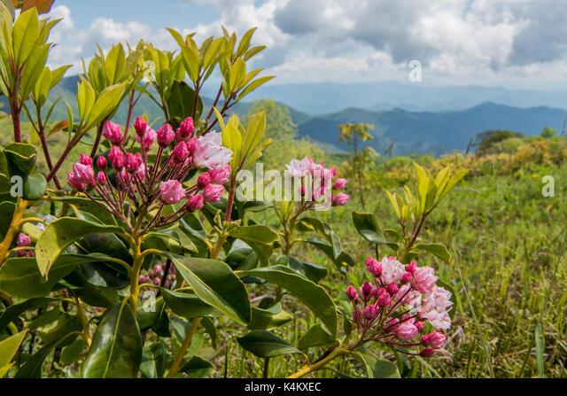 Mountain Laurel Buds on Siler Bald along the Appalachian Trail - Stock Image