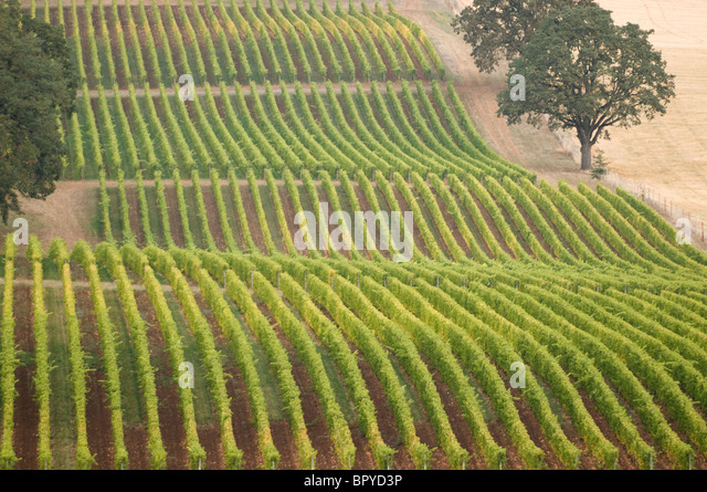 Oak trees and vineyards near McMinnville; Willamette Valley; Oregon - Stock Image