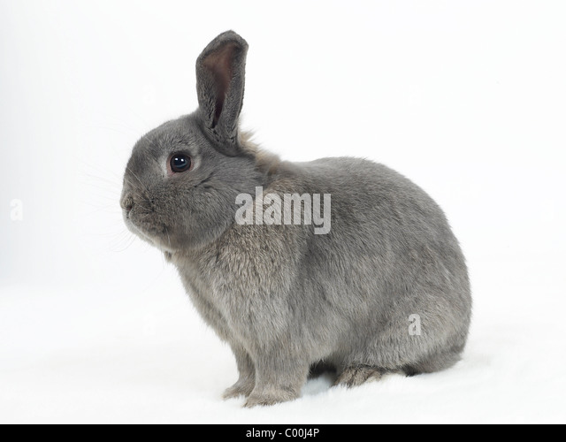 A grey rabbit sitting down. - Stock Image