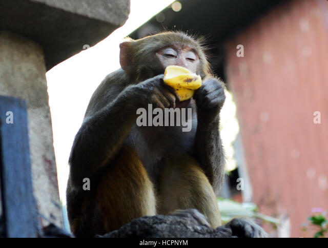 Assamese Macaque eating a banana near the Kamakhya temple in Guwahati. - Stock Image