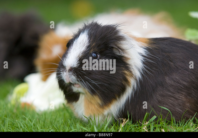 Smooth-haired guinea pig on meadow - Stock Image