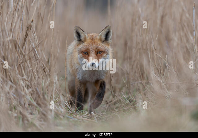 Red Fox / Rotfuchs ( Vulpes vulpes ) coming closer on a fox path through high, dry reed grass, low point of view, - Stock Image