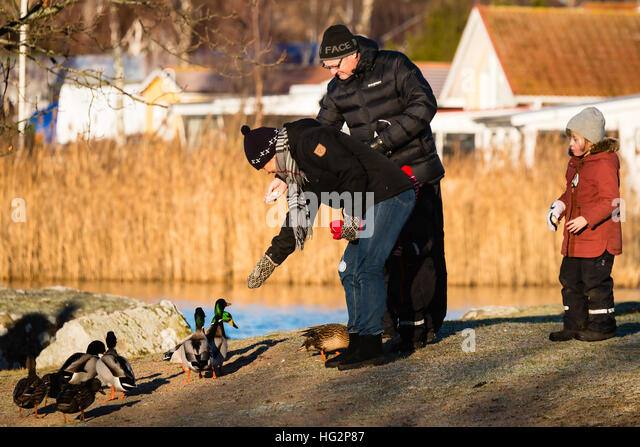 Ronneby, Sweden - January 2, 2017: Documentary of everyday life. Family feeding mallards close to the sea visible - Stock-Bilder