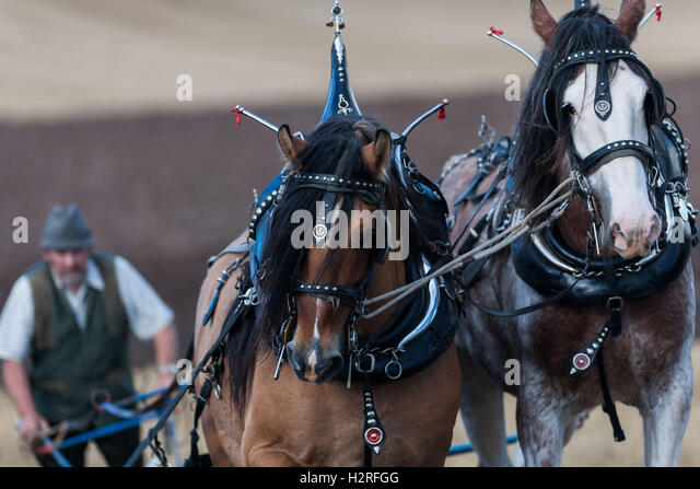 Fife UK Oct 01 2016;  The British Horse Society, Fifth Working Horse Day, Cereal from Seed to Harvest at Meadowwells - Stock Image