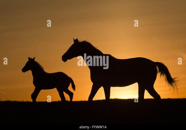 Otisville, N.Y, USA. 27th Apr, 2016. A thoroughbred mare and foal run together in a field at Hidden Lake Farm in - Stock Image